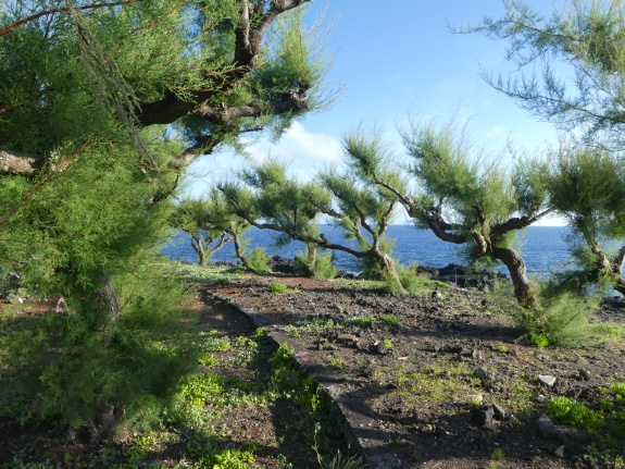 Azores Dragon Trees